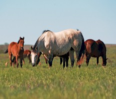 The Four Sixes Ranch brood mares benefit from Top of the Rockies alfalfa cubes.
