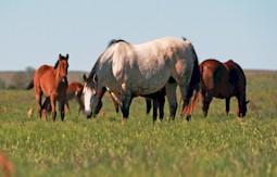 The Four Sixes Ranch brood mares benefit from Top of the Rockies brand alfalfa cubes.