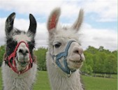 Llamas and other small animals benefit from a diet of alfalfa mini cubes produced by Manzanola Feeds.